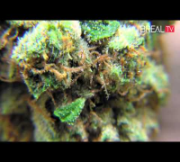 Diamond OG - Dr GreenThumb Strain Review | BREAL.TV