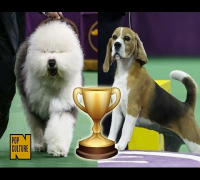 Miss P Upsets Swagger to Win the 139th Annual Westminster Kennel Club Dog Show